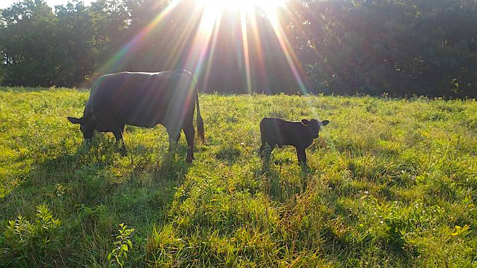 Cow Calf Feed